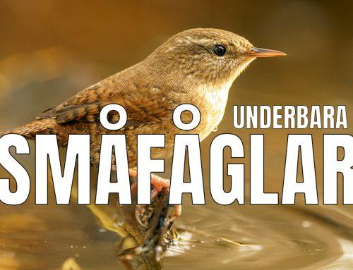 Underbara småfåglar – fotograferar i gömsle.